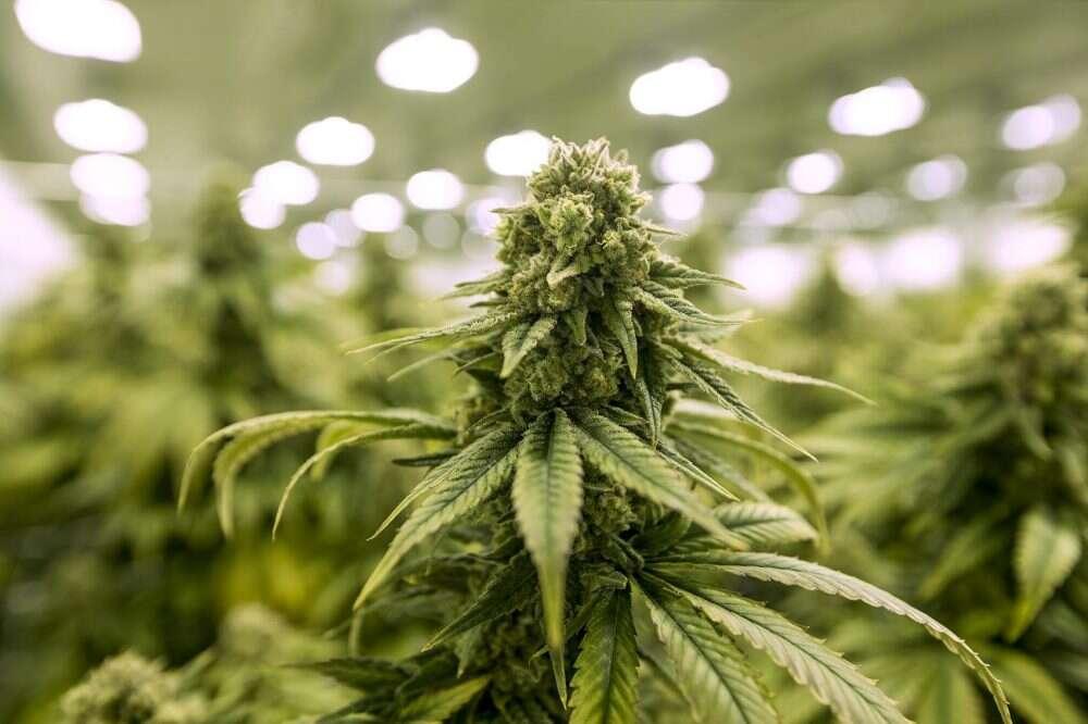 Wapowanie marihuany działa mocniej niż jej palenie