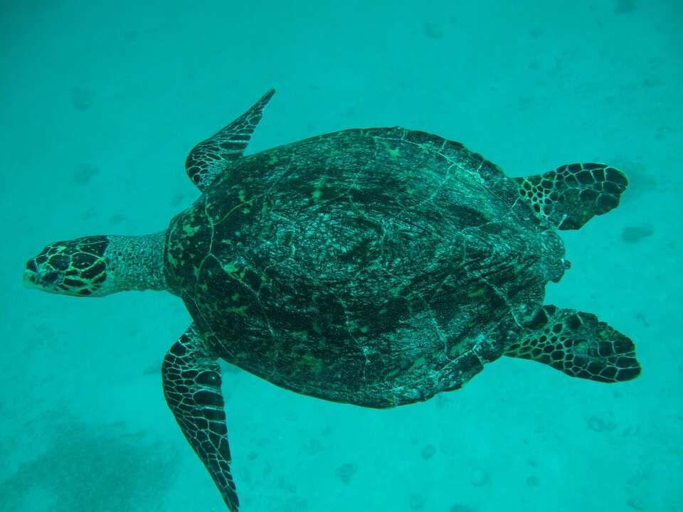 98% żółwi morskich może być samicami na skutek globalnego ocieplenia