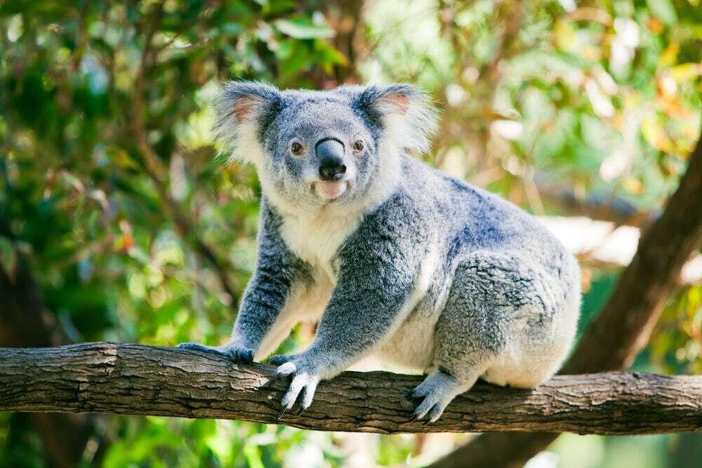 Specjalistyczne drony radzą sobie lepiej z dostrzeganiem koali od ludzi