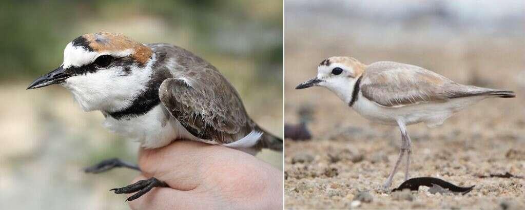 identyczne ptaki, gatunki siewek, gatunki ptaków,