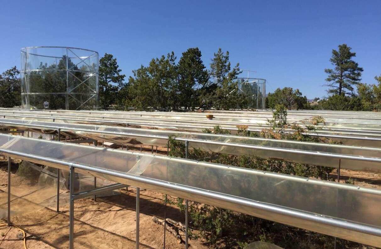 Komputerowa symulacja korzeni drzew iglastych ukazała ich sposoby na suszę