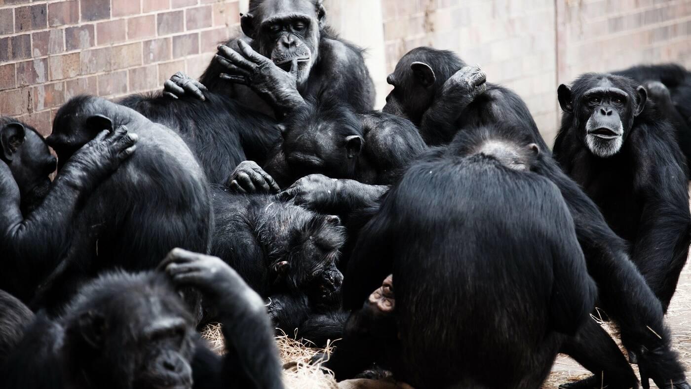 Naukowcy doszli do zaskakujących wniosków dotyczących współpracy u szympansów