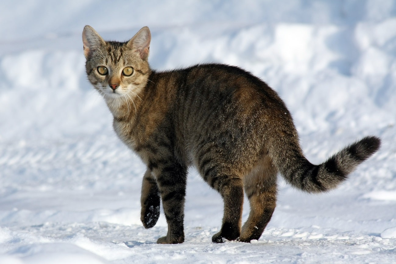 Koty mogą przenosić koronawirusa. Czy jest dla nich groźny?