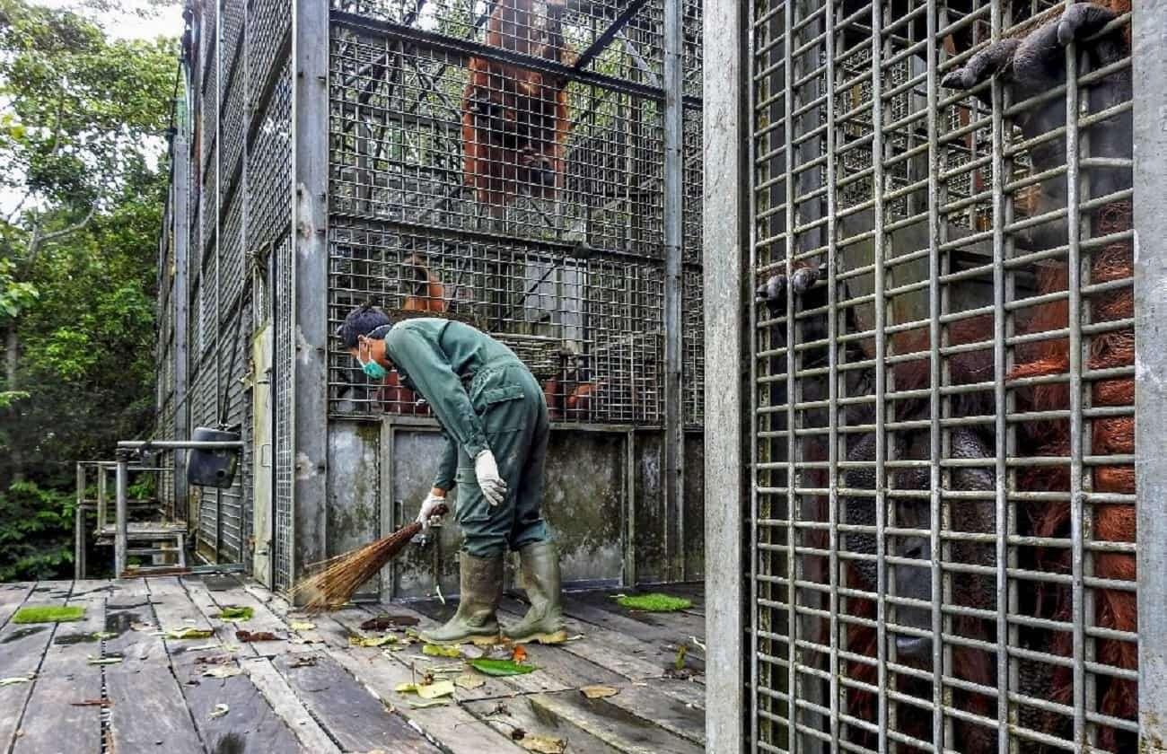 Indonezja chroni orangutany przed koronawirusem