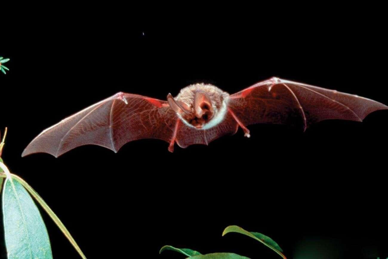 Nietoperze źródłem koronawirusa? Świadczą o tym próbki z 2010 roku