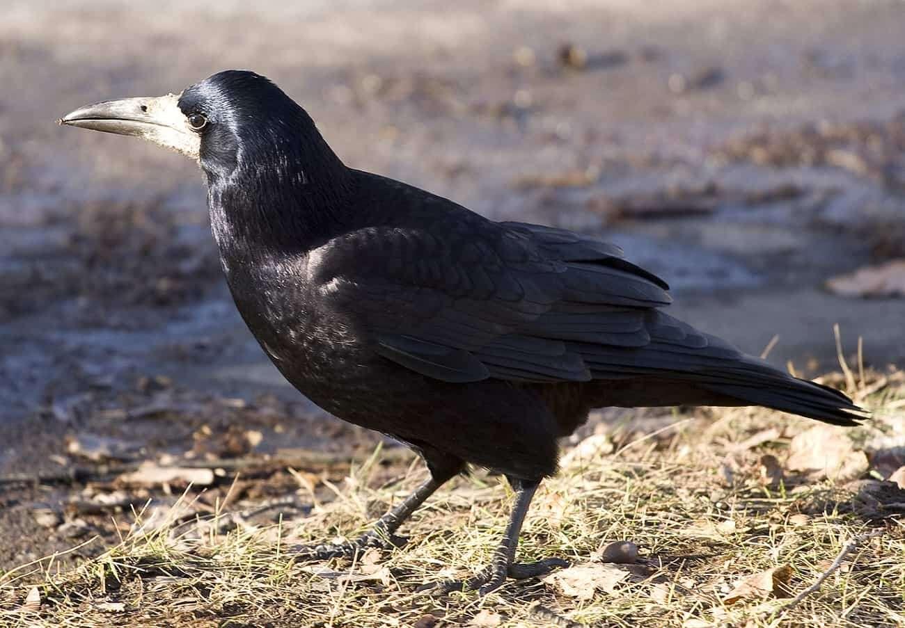 swiadomosc u ptakow