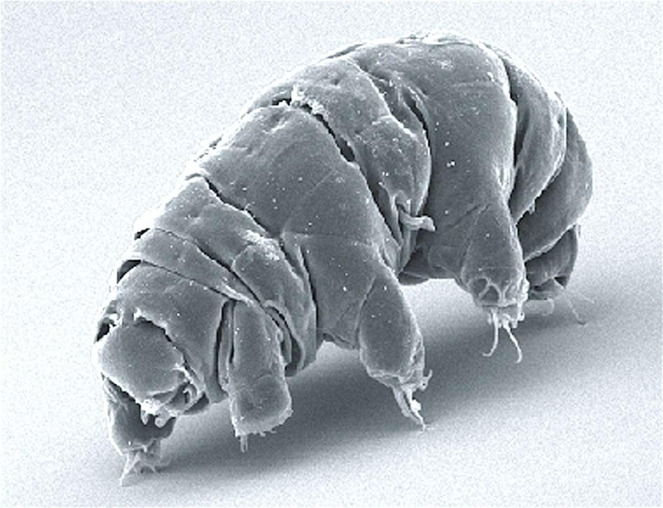 Niesamowity gatunek niesporczaka. Jest w stanie przetrwać silne promieniowanie