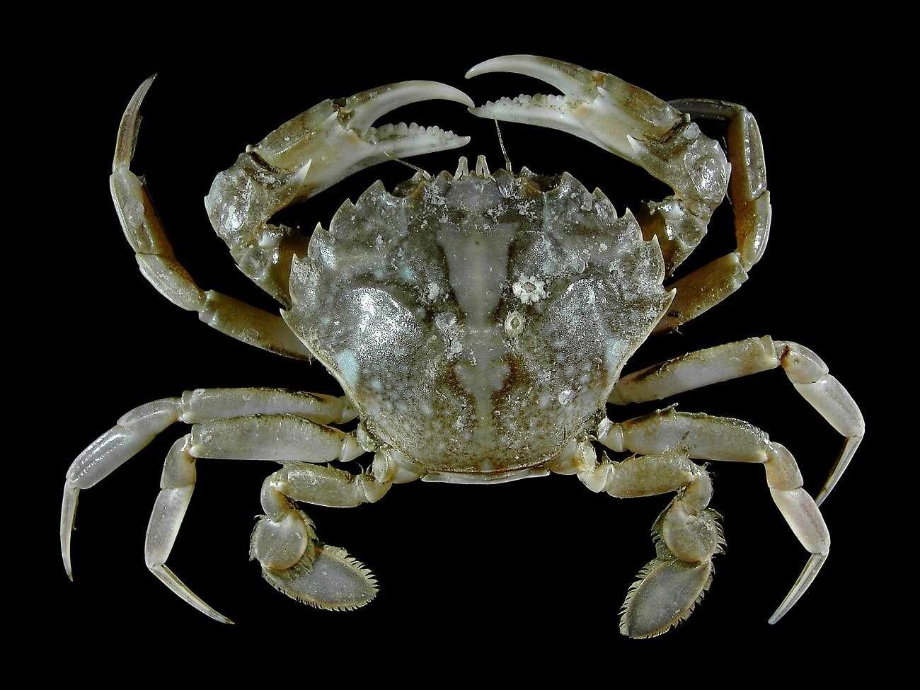 Dlaczego ziemskie organizmy ewoluują w kierunku krabów?