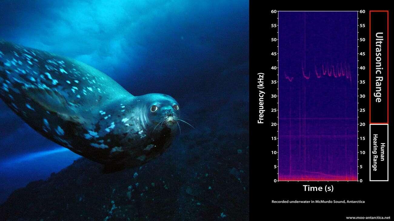 Foki emitują tajemnicze dźwięki, a naukowcy nie wiedzą, po co