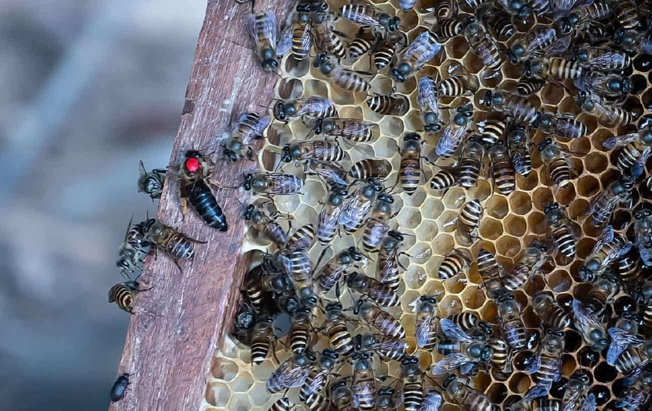 """Pszczoły używają """"narzędzi"""". Pomagają im w obronie gniazd"""