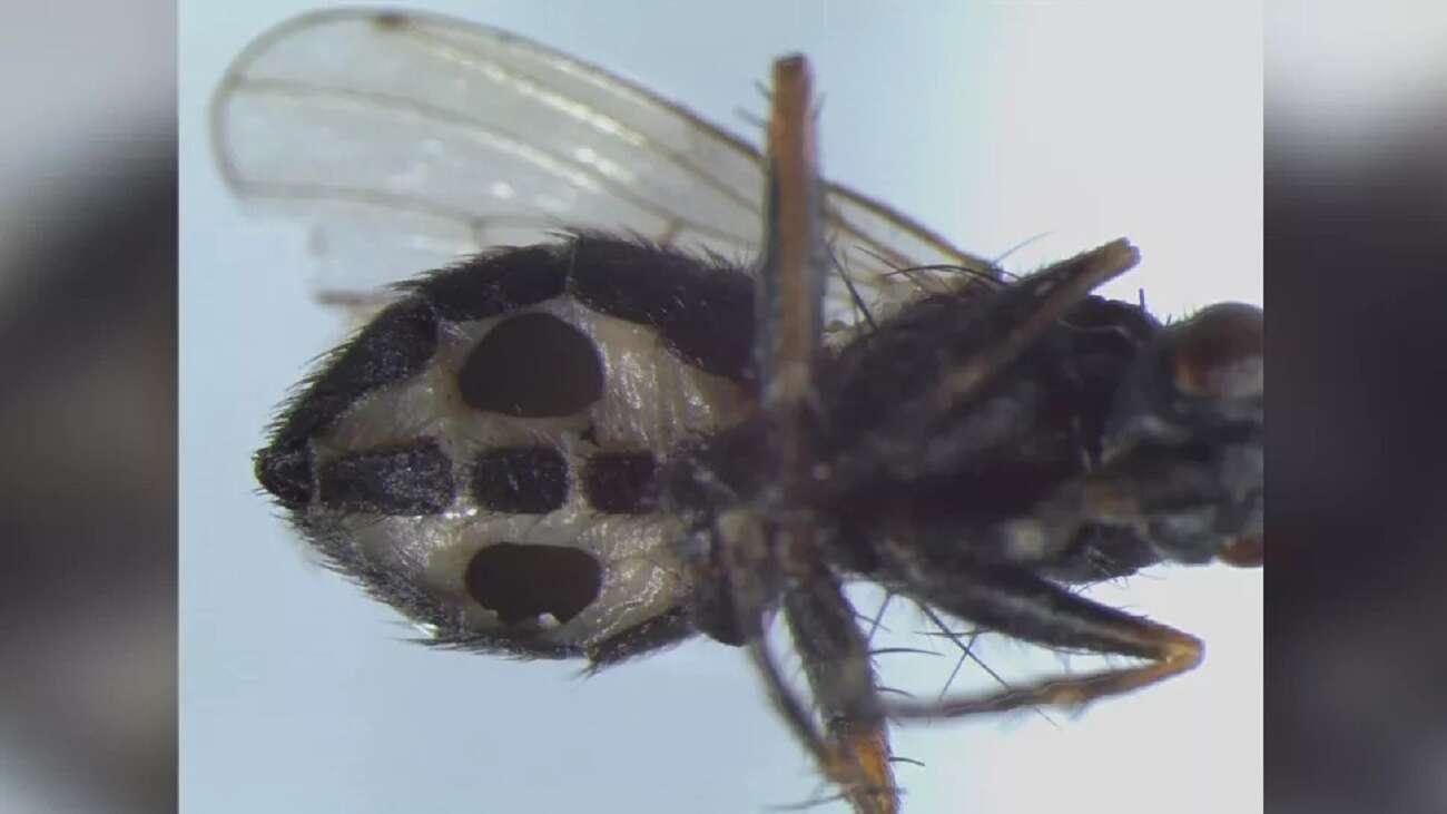 Grzyb zamienia muchy w zombie. Można go znaleźć na terenie Europy