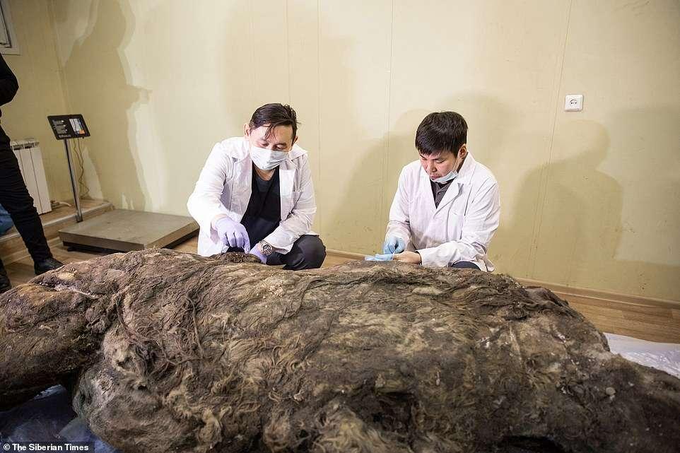 40 tysięcy lat leżał w wiecznej zmarzlinie. Teraz nosorożec włochaty ujrzał światło dzienne