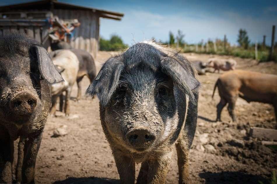 Huawei i hodowla świń to żadna sensacja. To modelowy przykład wykorzystania 5G