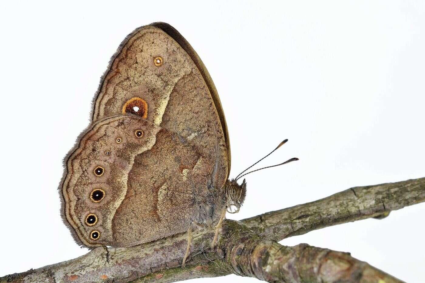 Motyle mogą zmieniać kolor skrzydeł ewoluując