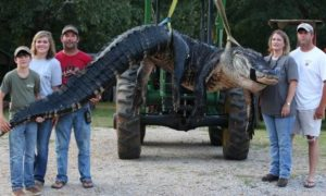 Rekordowo duży aligator schwytany w Ameryce