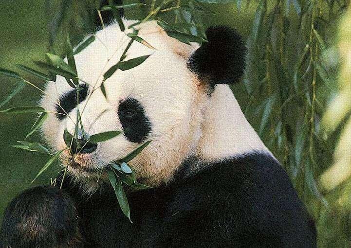 Panda udawała ciążę, aby dostać więcej jedzenia?