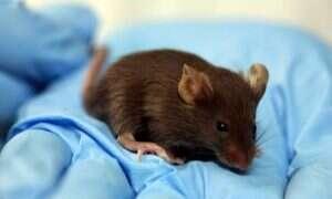 Naukowcom udało się wyhodować organ wewnątrz zwierzęcia