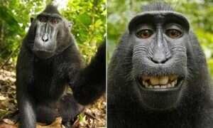 Wikipedia nie usunie zdjęcia, ponieważ jego włascicielem jest małpa