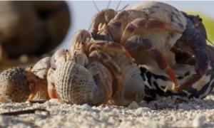 Zobaczcie jak kraby pustelniki wymieniają się muszlami