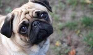 Psy mogą wywąchać raka tarczycy