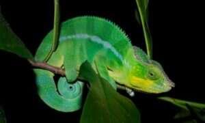 Nanokryształy sekretem zmiany koloru u kameleonów