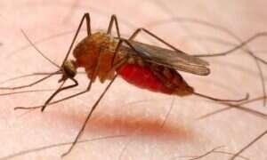 Malaria i jej śmiertelna odmiana – poznajcie zabójcę czerwonych krwinek