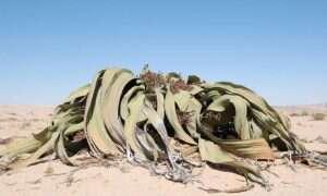 Welwiczja przedziwna – najdziwniejsza roślina na Ziemi