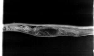 Pyton trawi aligatora – zdjęcia rentgenowskie