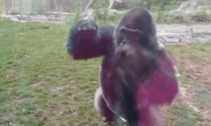 Goryl uszkadza szkło w zoo w akcie agresji wobec małej dziewczynki