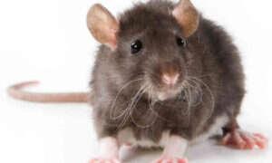 Szczury są zdolne rozpoznawać ból po mimice pyska innych szczurów