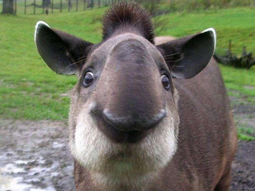 tapir-wallpaper-1