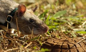 Szczury – saperzy ratują życie w Afryce. Wykrywają materiały wybuchowe