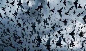 Nietoperze latają dzięki skomplikowanym sensorom umieszczonym w swoich skrzydłach