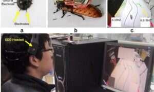 Naukowcy opanowali metodę kontroli umysłu karalucha