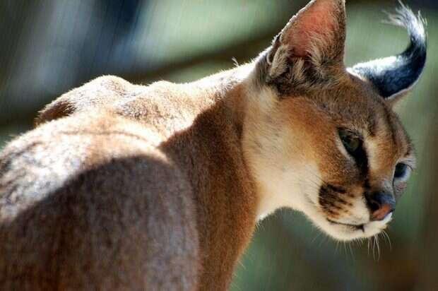 800px-Semi-Wild_Cat_Steve_Snodgrass