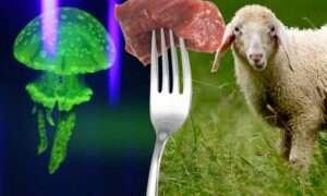 We Francji przypadkowo spożyto fluorescencyjną owcę z wszczepionym DNA meduzy