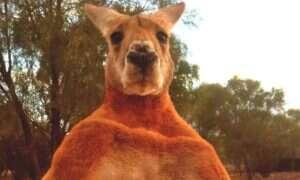 Przedstawiamy: oto kangur Roger. Lubi prężyć muskuły i giąć metal