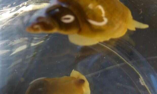 Snails_Lymnaea stagnalis_SarahDalesman