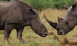 Syntetyczny zamiennik rogu nosorożca uchroni zwierzęta przed wyginięciem?