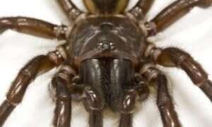 Skąd u australijskich pająków jad zdolny zabić człowieka?