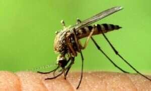 Komary nie będą roznosić zarazków