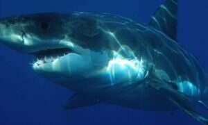 Największy sfilmowany żarłacz biały