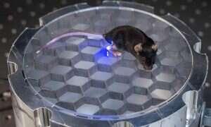 Mysz z bezprzewodową żarówką w mózgu – o dziwo to ma sens