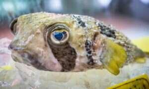 Lek przeciwbólowy z ryby Fugu