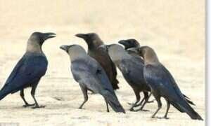 Czy wrony żegnają swoich zmarłych?
