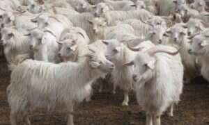 Chińczycy modyfikują genetycznie kozy. Co na to bioetyka?
