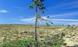 Odkryty w Szwecji świerk ma 9550 lat – to najstarsze drzewo na świecie