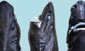 Kolczak ninja – świecący w ciemnościach gatunek rekina