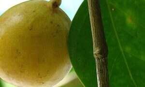 Poznaj najniebezpieczniejsze drzewo świata