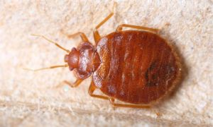 Zsekwencjonowano genom pluskwy – czy wreszcie się pozbędziemy tych insektów?